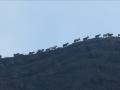 Des chèvres vulcanologues