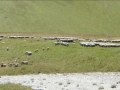 Moutons et patous !