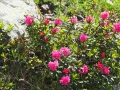 Rhododendrons encore en fleurs !